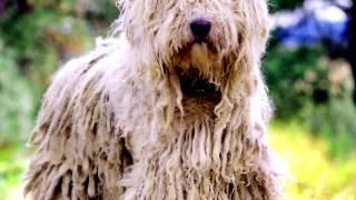 Порода собак. Командор.Царь венгерских ОВЧАРОК.Одна из крупнейших пород собак  в мире