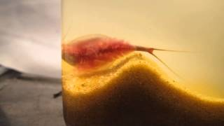 Triops newberryi digging a nest and egg laying