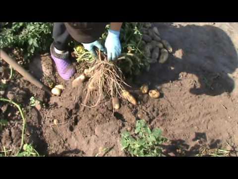 Урожай пробирочных растений картофеля сорта Гранада