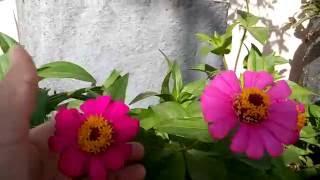 9 - How  to grow zinnia n cosmos flowers 💐 from seed (Hindi/Urdu) .. 24/4/16