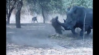 Rhino vs Warthog real Fight To Death - Wild Animals Attack