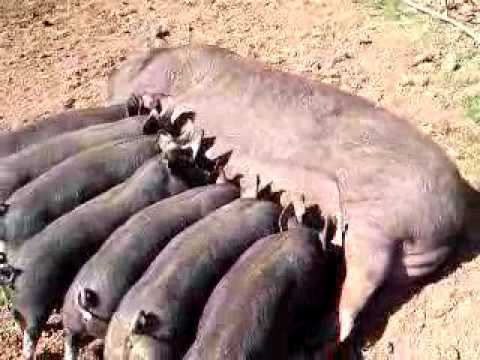 Sow Stalls - Facts - Australian Pig Farming: The Inside Story ...