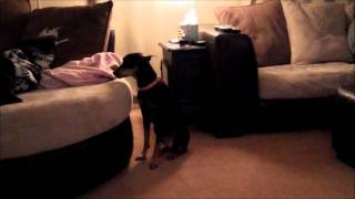 How To Stop German Pinscher From Attacking Black Lab Greenville Sc Dog Whisperer Charleston