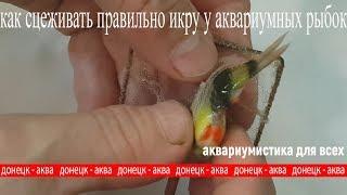 как сцеживать правильно икру у аквариумных рыбок