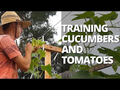 Trellising Cucumbers & Tomatoes On A Lower & Lean Trellis