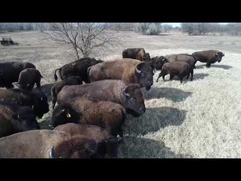 Indian Creek Bison Ranch