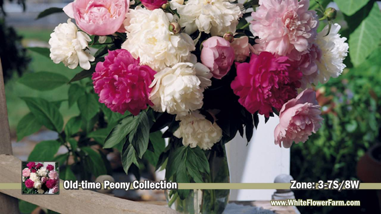 Old Time Peony Collection From White Flower Farm Youtube