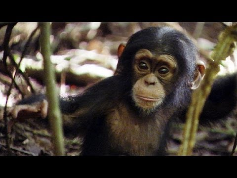 Lil' King of the Swingers | Amazing Animal Babies | Chimps ...