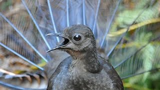 Lyrebird Mimicking Chainsaws, Cameras, Cars and Even People!