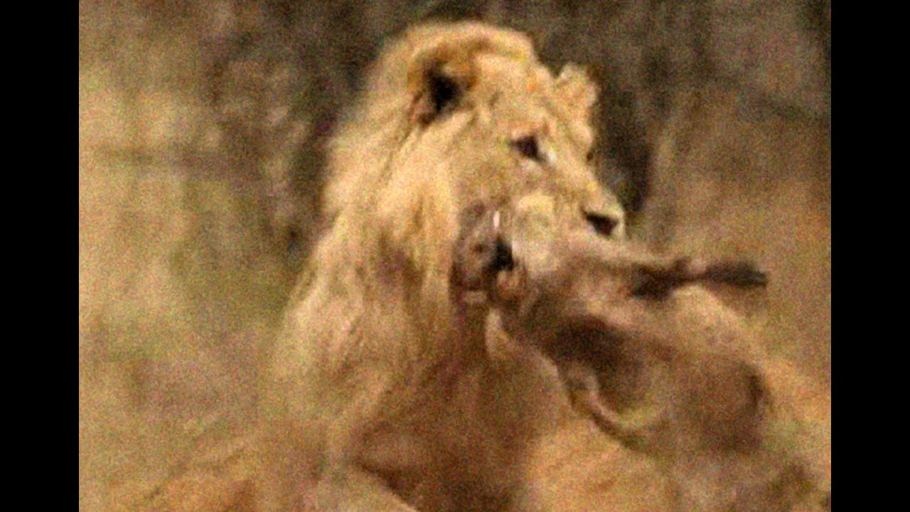 Vuyani Safari Lodge - Lion Kill - Warning Animal Violence!