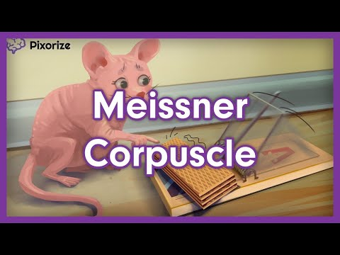 Meissner Corpuscle Mnemonic - YouTube