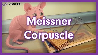 Meissner Corpuscle Mnemonic