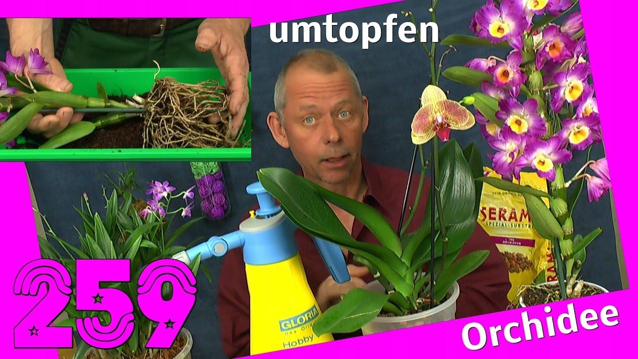 Orchidee Umtopfen Und Vermehren Dendrobium Nobile Berry Oda Youtube