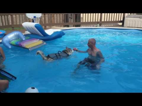 Milo goes for a swim! Siberian husky puppy swimming. Puppy swimming. Dog life jacket. DIY pool ramp