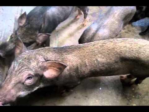 Trang trại chăn nuôi lợn rừng 01