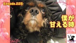 おもしろ可愛い犬・アンポンタン(キャバリア/ルビー・ブラタン・ブレン...