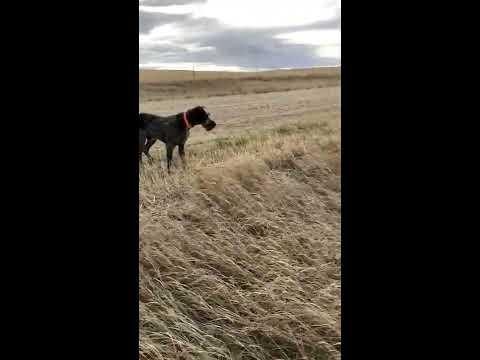 Scent tracking pheasants   Deutsch Drahthaar Colt iv