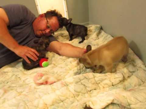 French Bulldog Puppies ~ Oregon French Bulldog Breeders ~ Gabby Puppies