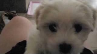 Noisy Puppy- Miffy the Maltese Shih Tzu puppy crying and howling