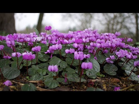 Cyclamen propagation: from seeds to flowering plant