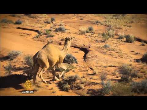 Australian Farmers Seek New Cull Of Wild Camels
