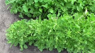 Опыт выращивания кресс салата ВИТАМИННЫЙ