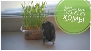 КАК вырастить траву дома для хомячка?