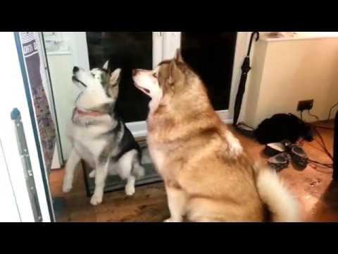 Alaskan Malamutes synchronized tricks