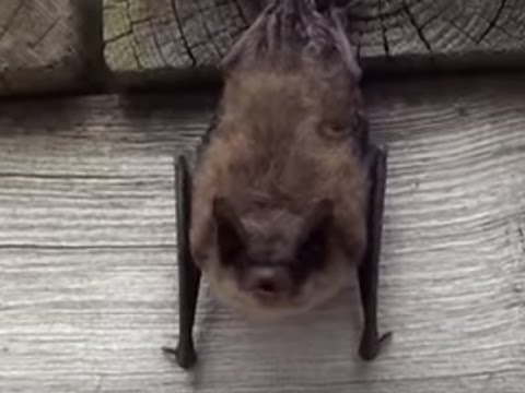 Little Brown Bat stretches and yawns before taking a nap.