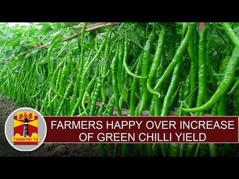 Farmers Express Happiness Over Increase of Green Chilli Yield & Price Hike