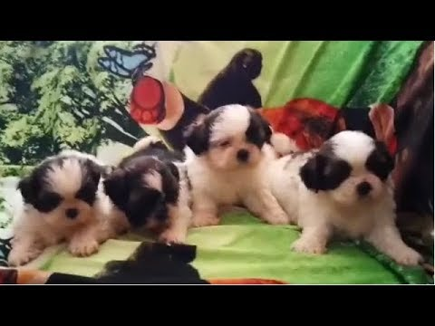 So Cute Show Quality KCI Registerd Shih Tzu  Puppy For You At Kolkata
