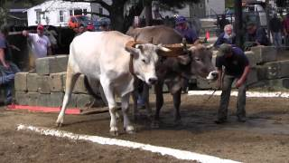 Ox Pull 2013 Deerfield Fair Oxen NH Pulling Video 10