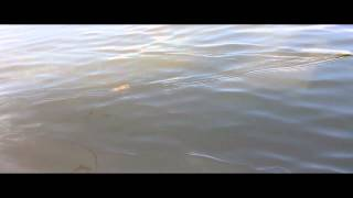 Seatrout W video