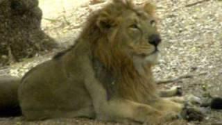 AdmirableIndia.com - Lion (Panthera leo): Part 1