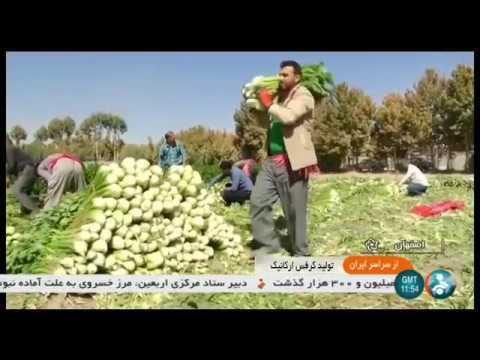 Iran Organic Celery harvest, Isfahan province برداشت كرفس استان اصفهان ايران