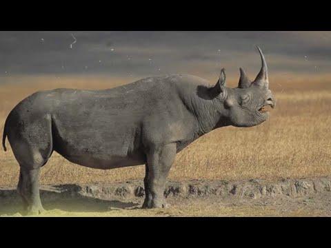 Вопрос: Зачем носороги валяются в грязи?