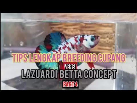 TIPS BREEDING CUPANG LENGKAP VERSI LAZUARDI BETTA CONCEPT (PART 4)