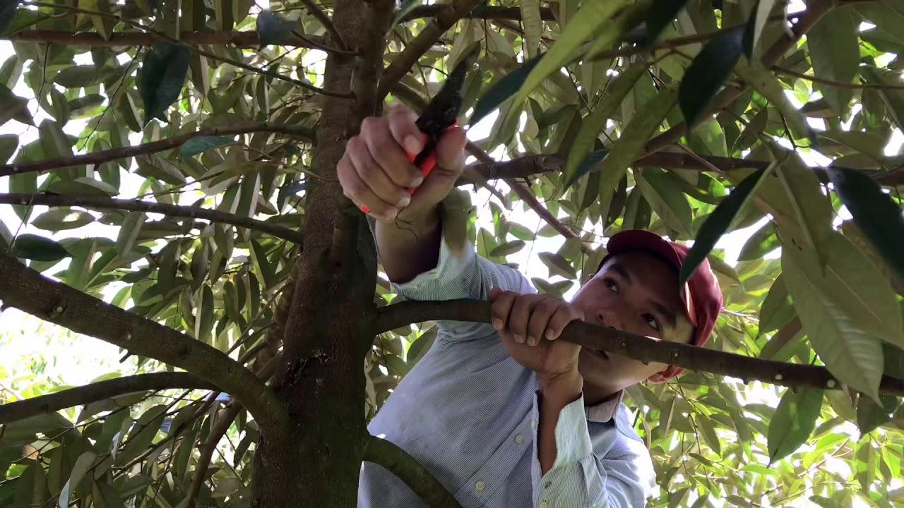 Durian Pruning | Kỹ Thuật Tỉa Cành Tạo Tán Sầu Riêng Giao Đoạn Cây ...