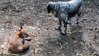 Алиса - лиса. Ли Сяо вывела собак на ночную прогулку.