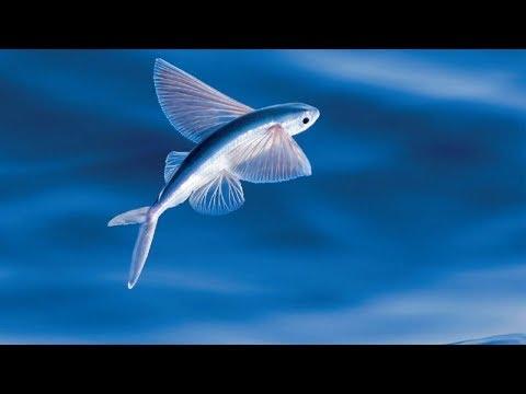 Летающая рыба: невероятно, у нее даже есть крылья!