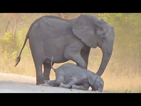 Elephants Try Help Dying Calf