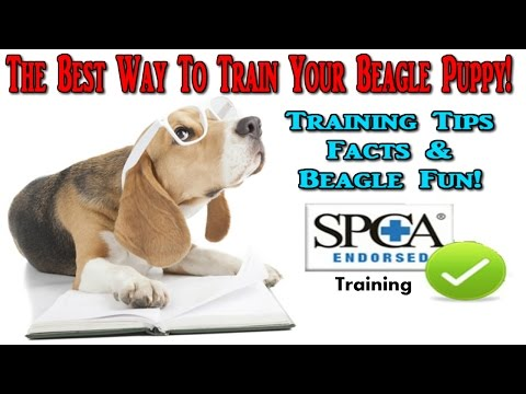 Beagle Puppy ♥ How To Train A Beagle Puppy ♥ Best Way To Train Beagle Puppies :)))))