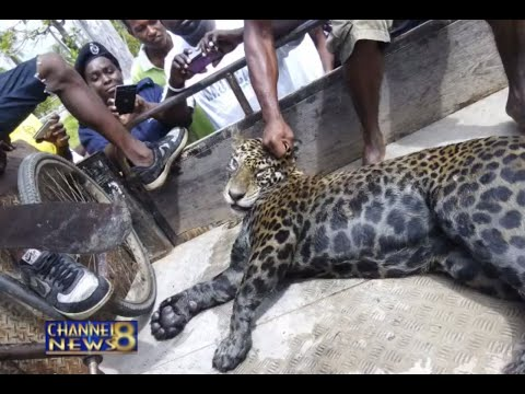 Jaguar Killed By Fearful Residents