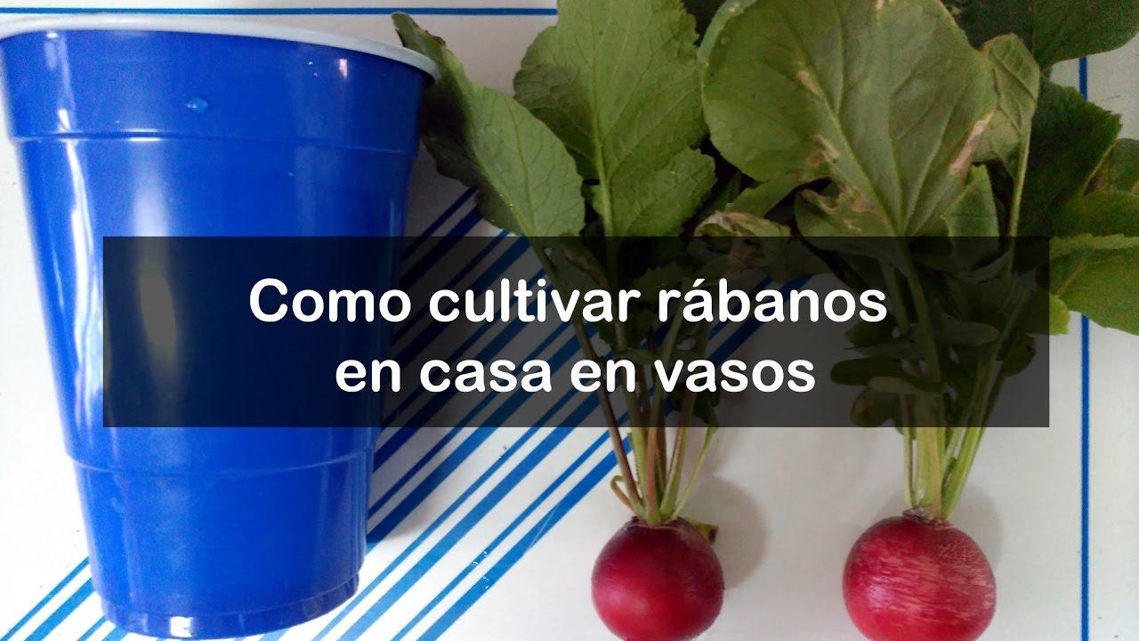 Como cultivar r banos en casa y en vasos en el huerto for Como cultivar peces en casa