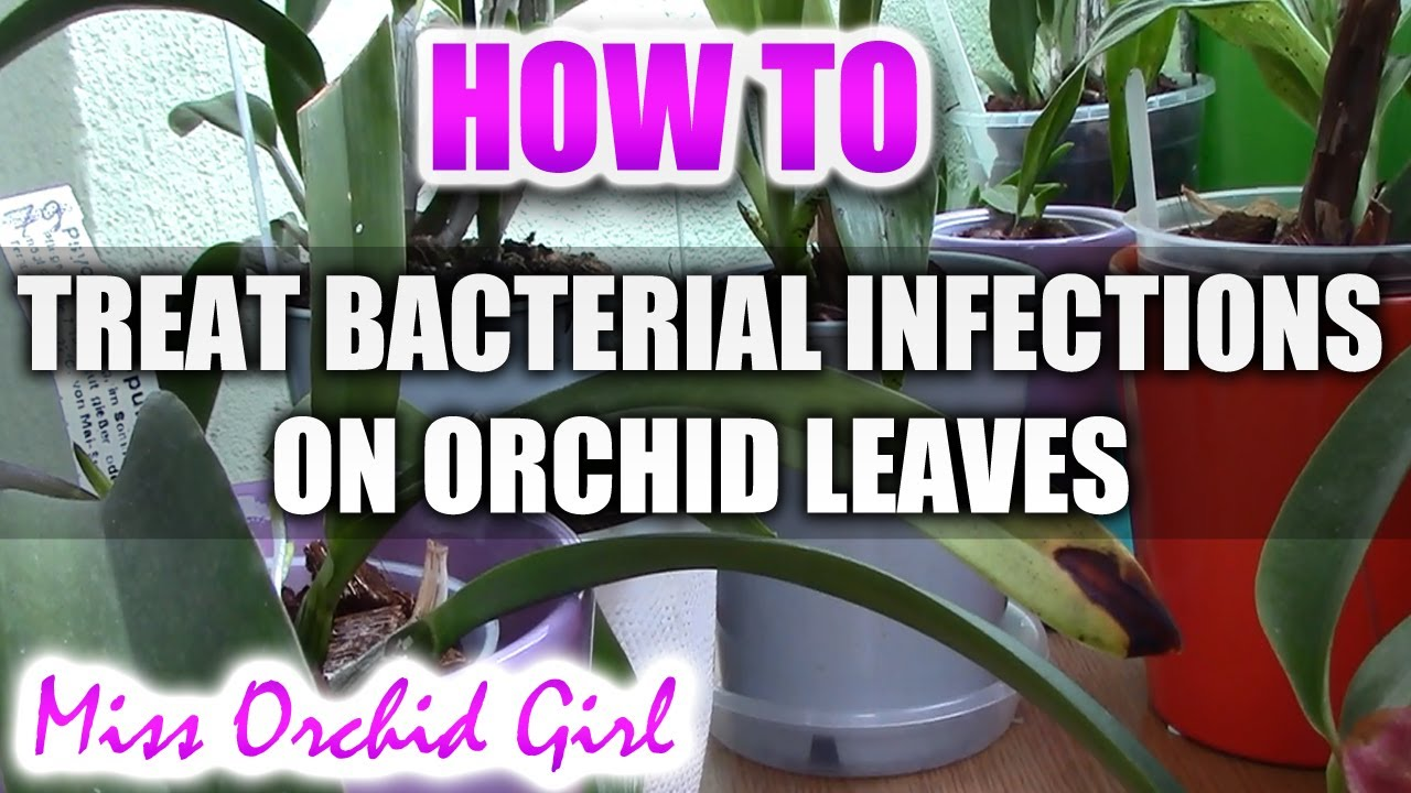 How Treat Bacterial Infection Orchid Leaf Youtube