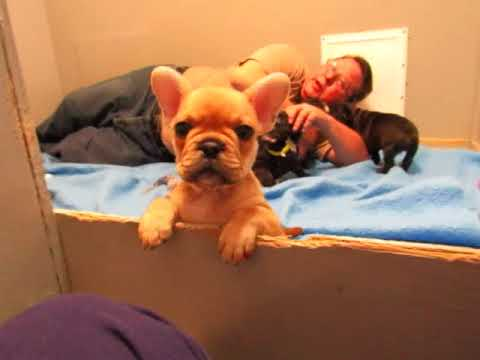 Bella Pups - French Bulldog Puppies ~ Oregon French Bulldog Breeders