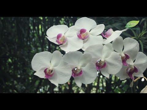 80+ Gambar Bunga Anggrek Bulan Paling Bagus