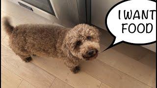 Miniature poodle dog wants food