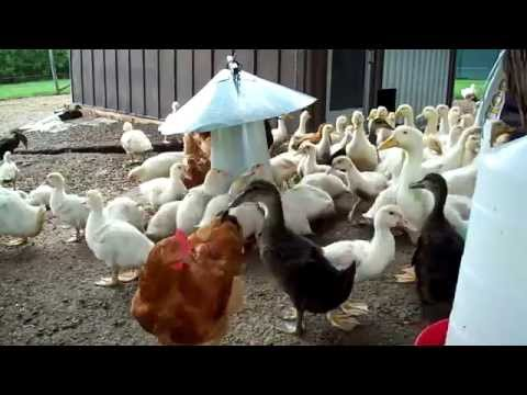 how to raise 45 days chicken philippines