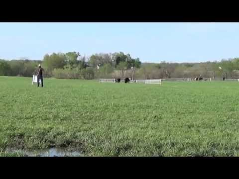 Boss, 2014 National Cattle Dog Nursery Finals(Round Two)